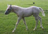 cremello foal Beaux