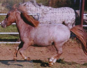 CR Spanish Creek Contessa - Red Varnish Roan Appaloosa Mare
