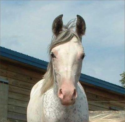 Dominant White Arab mare Khey To My Heart
