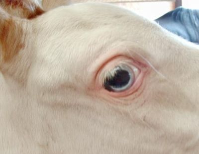 Right eye of Dominant White Arab Kholor By Design