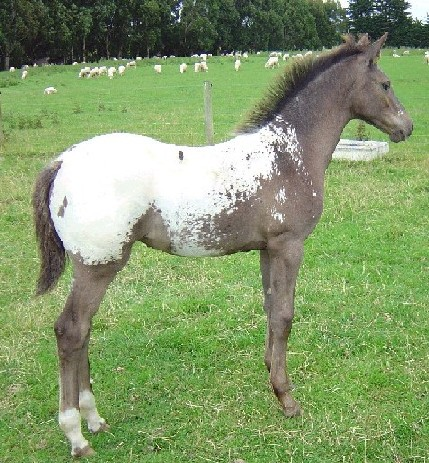 Mararoa snowcap filly