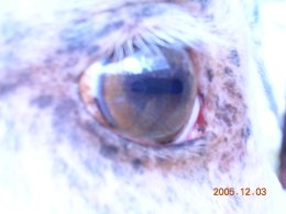 Gold cream AQH, showing a hazel eye and pinky purple mottled skin typical of champagne horses