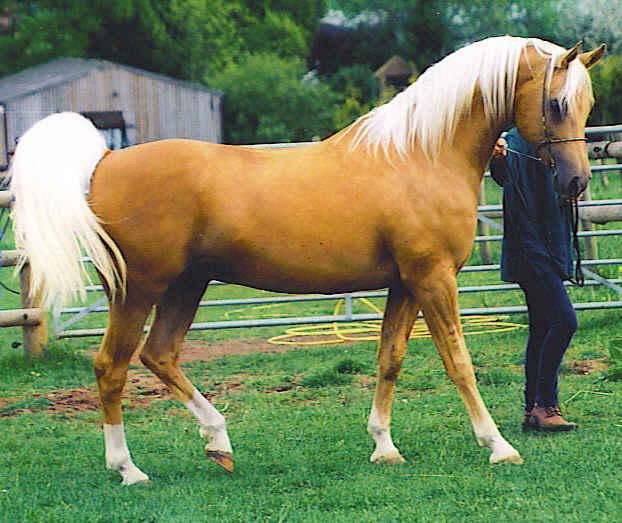 Shulay Faberge palomino stallion