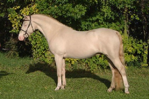 smoky cream Welsh stallion The Key