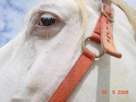 pearl Lusitano horse Tirol