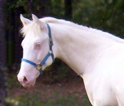 Dun perlino stallion Two Eyed Red Cupid
