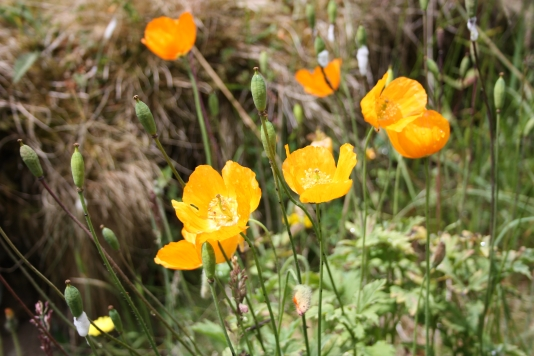 the Welsh poppy is a common here