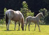 Tobiano buckskin mare Zip Idie Dodah and her cremello foal Beaux