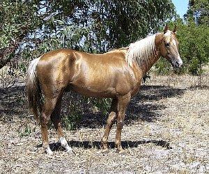 Tintaras Jumala - Australian Stock Horse stallion
