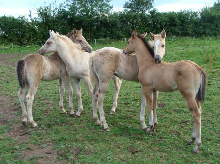 Cotesbach American Quarter Horse  foals to July 2009