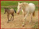 Della and buckskin foal