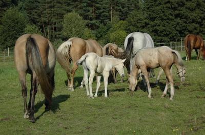 Double R Ranch American Quarter Horse  Mares and Foals
