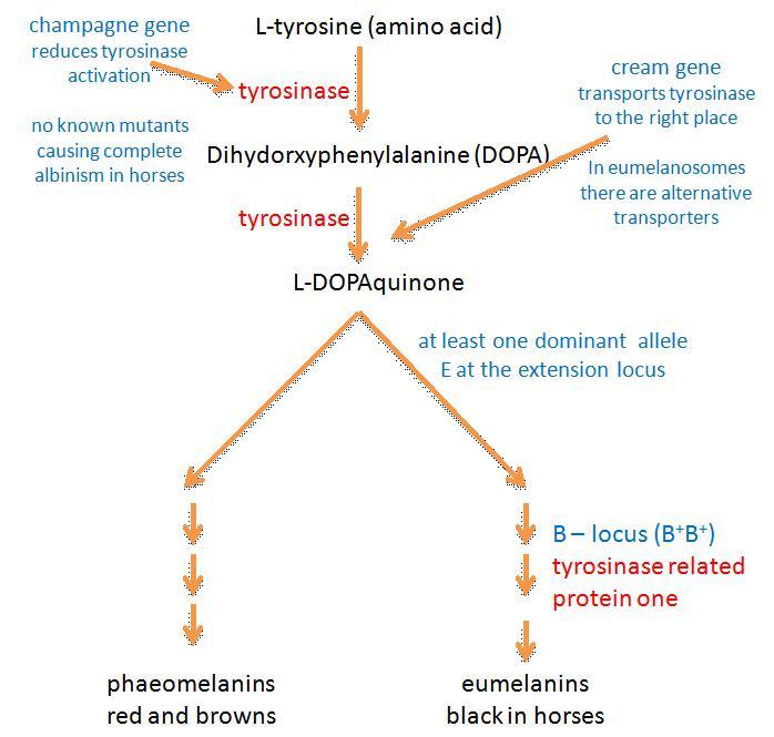 melanin biosynthesis figure1