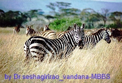 Zebras are a member of the horse family of animals.